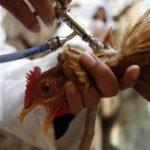 وكالة: اكتشاف حالة اصابة جديدة بانفلونزا الطيور في مصر