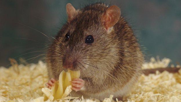 140609012502_rats