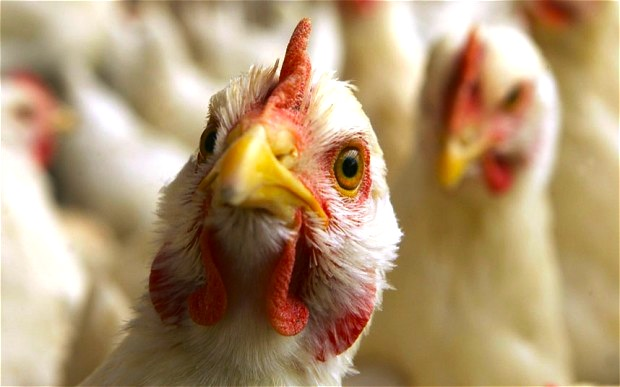poultry-British-Poultry-Council-bird-flu-duck-UK